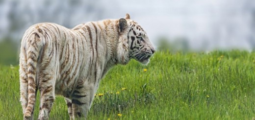 White Tiger in the Grass