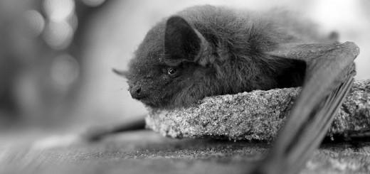 Bat, short story vendetta