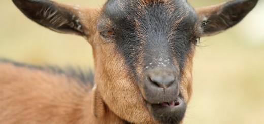 Crazy Goat, sarcasm short story