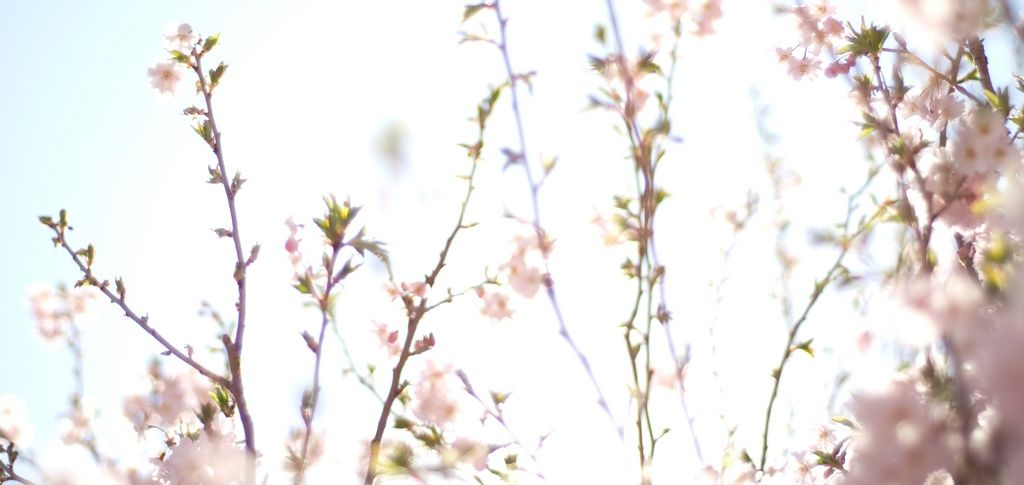 Cherry Blossoms, must read short stories