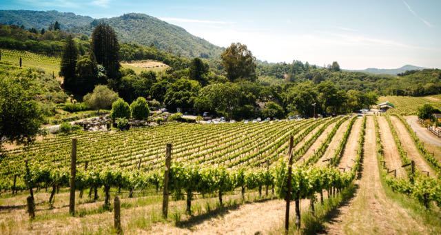 vineyard on a hill on a sunny day
