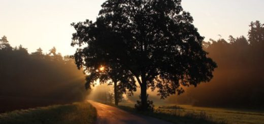large tree next to road with the sun behind it