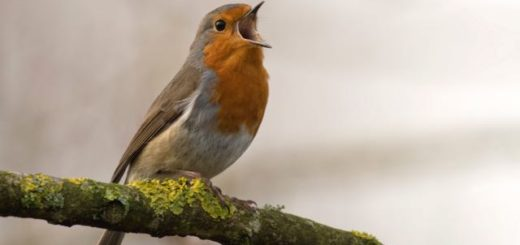 re robin sitting on a branch and singing