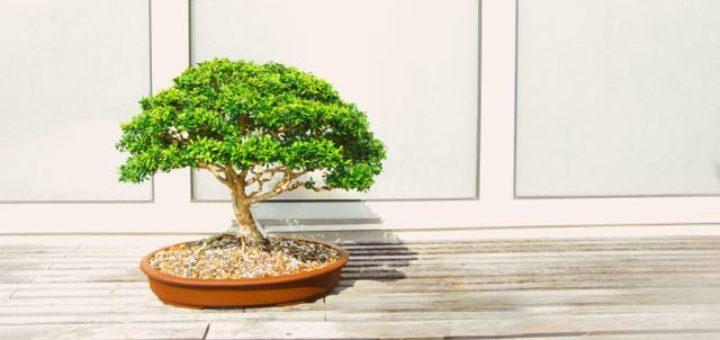 bonsai tree in oval clay pot