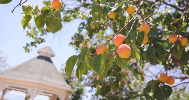 peach tree with ripe fruit near a gazebo