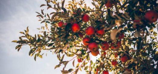 apple tree full of ripe red gala apples